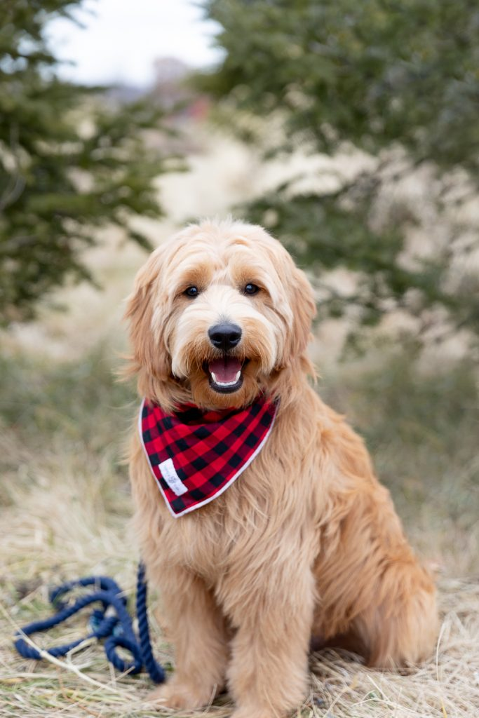 goldendoodle puppy during tree farm mini session